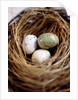 Eggs in Nest by Corbis