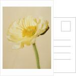 White poppy by Corbis