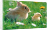 Chick and pygmy rabbit in the grass by Corbis