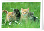 Four Kittens by Corbis