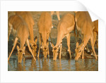 Several impalas drinking at a watering place (Botswana) by Corbis