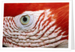 Eye of scarlet macaw by Corbis