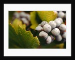 Bunch of grapes by Corbis