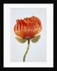 Red poppy blossom by Corbis