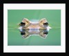Frog in the water by Corbis