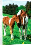 Pied mare with foal in a meadow by Corbis