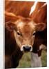 Calf at grass by Corbis