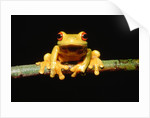 Red-eyed tree frog by Corbis
