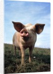 Portrait of Yorkshire piglet by Corbis