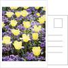 Yellow tulips between purple pansys by Corbis