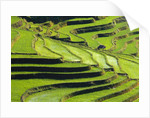 Terraced rice fields in Yunnan Province, China by Corbis