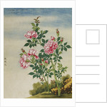 A Rose Chinese Watercolor by Corbis
