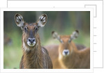 Curious Waterbucks by Corbis