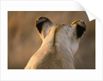 Back of Lioness' Head by Corbis
