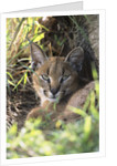 Caracal Resting by Corbis