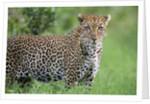 Leopard Watching, Lake Nakuru in Kenya by Corbis