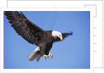 Bald Eagle in Flight, Alaska by Corbis