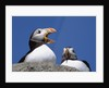 Atlantic Puffins, One Gaping, Newfoundland, Canada by Corbis