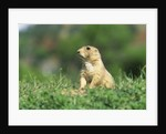 Black-Tailed Prairie Dog in Wyoming by Corbis