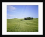 Cypresses on a meadow in the Tuscany by Corbis