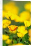 Iceland Poppies, summer, Canada by Corbis