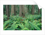 Ferns in forest, Redwood National Park, California, USA by Corbis