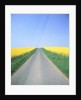 Country road between cole fields by Corbis