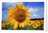 Sunflower field, summer by Corbis
