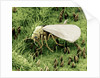 Whitefly on Leaf by Corbis