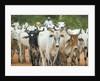 Herd of Cattle by Corbis