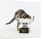 Kitten Climbing into Trophy by Corbis