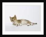 Relaxed Kitten by Corbis