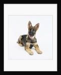 German Shepherd Puppy by Corbis