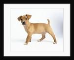 Curious Tan Terrier Puppy by Corbis