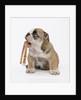 Bulldog Holding Collar by Corbis