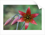 Bolander's Lily by Corbis