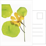 Yellow Nasturtium Flower with Green Leaves by Corbis