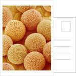 Paper Bush Pollen by Corbis
