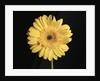 Gerbera Daisy by Corbis