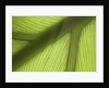 Close up view of the ridge of a leaf by Corbis