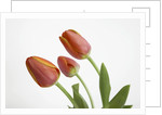 Bent Red Tulips by Corbis