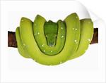 Green Tree Python by Corbis