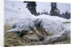 Sleeping, Snow-Covered, Iditarod Sled Dog by Corbis