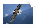 American Bald Eagle in Flight by Corbis