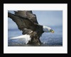 American Bald Eagle Fishing by Corbis