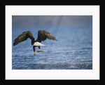 Bald Eagle Catching a Fish by Corbis
