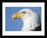 Bald Eagle by Corbis