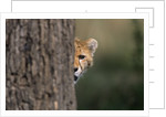 Cheetah Cub Hiding Behind Tree Trunk by Corbis
