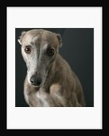 Whippet with Pleading Eyes by Corbis