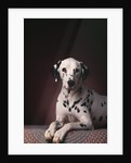 Dalmatian Sitting on Rug by Corbis